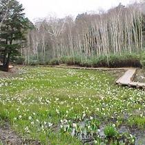 *【春】水芭蕉の眺めが清々しい春の風景。