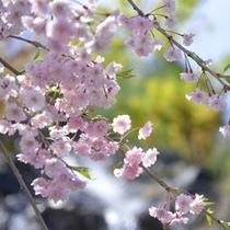 *【春】さくら