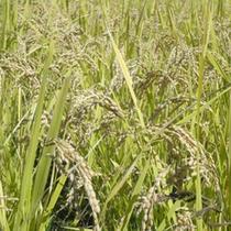 *収穫間近な稲