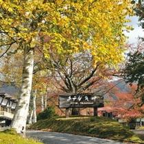 白樺の紅葉 色鮮やかな秋の到来