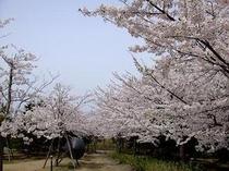 近代美術館の桜並木