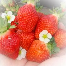 <いちご農園>阿蘇にはいちご農園がた~くさん!!阿蘇のお水と空気で育ったいちごはあまーい♪♪