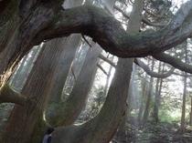 <殿の杉>車で5分。その後徒歩約5分。樹齢400年....。光りが差し込み幻想的。大きいなー。