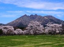 <春・満開の園地>園地にはきれいな桜が咲きます。阿蘇の隠れスポットです♪