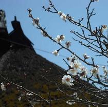 たむら入母屋屋根と梅