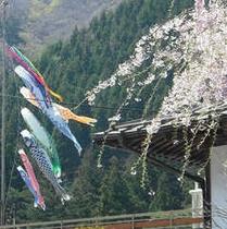 【観光・散策 春】さくらと鯉のぼり