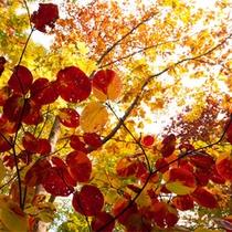 *秋の白神山地/一日ごとに色彩を変える森の木々たち。同じ景色はありません。