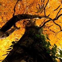 *秋の白神山地/燃えるように鮮やかな黄色。美しい木の下でしばし日常を忘れてのんびり。
