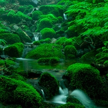 *夏の白神山地/ブナ林の中にはこんな場所も。さらさらと水が流れ苔むす美しい場所。