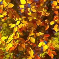 *秋の白神山地/赤、黄色、橙、ブナの葉が美しく色付き秋の訪れを感じさせてくれます。