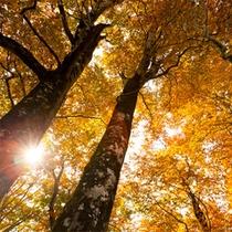 *秋の白神山地/紅葉に染まる、静かな秋の森。ブナ林が優しく迎えてくれます。