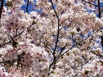 桜09,4/10