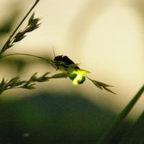 昨年6月18日に生寿苑の庭園にてヘイケホタルを30数匹ほどを確認。 ※画像はイメージ