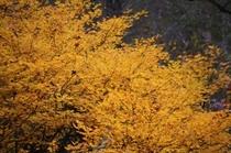 野鳥の森探勝路 いろどりの紅葉 黄色