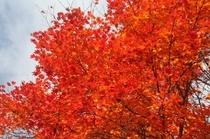 美しい紅葉の赤