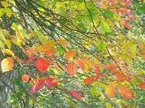 色彩鮮やかな紅葉(野鳥の森探勝路)