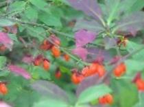 紅葉と赤い実(野鳥の森探勝路)