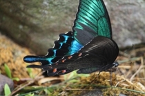 ミヤマクロアゲハ 蝶
