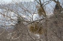 早春の裏磐梯 宿り木