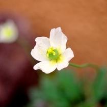 旅館玄関の花壇には、リシリヒナゲシの白が咲きます♪