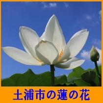 土浦市の蓮の花