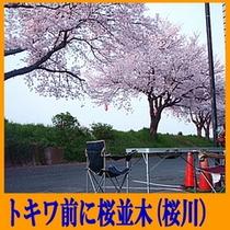 トキワ前の桜並木(4月上旬〜中旬)