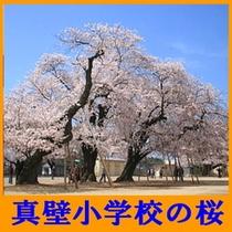 真壁小学校の桜(4月上旬)