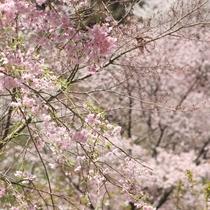 河津桜は2月から咲き始めます♪