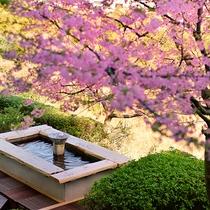ロビーから見た足湯と桜(2月の河津桜)
