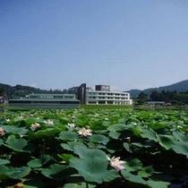 *睡蓮は朝から昼にかけて咲きます。