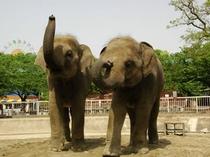 東山動植物園「アジアゾウ」