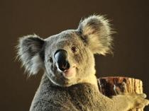 東山動植物園「コアラ」