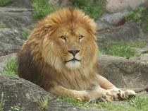 東山動植物園「ライオン」