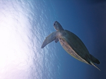 【ダイビング】幻想的な雰囲気を漂わせて泳ぐウミガメ。