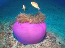 【ダイビング】色鮮やかなイソギンチャク。綺麗なサンゴやイソギンチャクがいっぱい♪