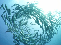 【ダイビング】下地島のパナタではギンガメアジの群れで作られたギンガメトルネードが見られることも♪