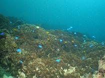 【ダイビング】サンゴの上を元気に泳ぎ回る熱帯魚たち。