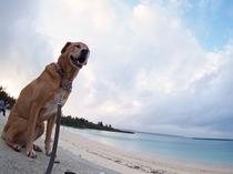 """【看板犬の""""bibi""""】bibiちゃんと夕焼けの海。宮古島の海と砂浜はとても綺麗です!"""