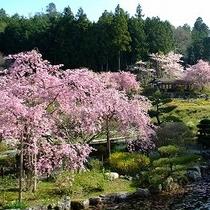 花の郷 滝谷花しょうぶ園(桜)