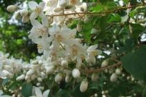 卯の花、初夏の花