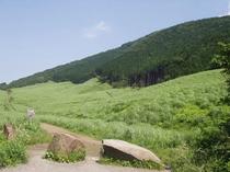 《仙石原のススキの原》は春が来て、初夏、夏、緑の草原。秋の訪れと共に銀色の穂波が風に揺れます