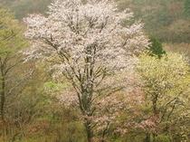 谷の山桜は五月が来る少し前に、開花します