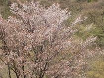"""年毎に一回りずつ大きく伸びるこの桜の木は、四月の中ごろに花を咲かせます。""""ふたりじめ桜""""ですね"""