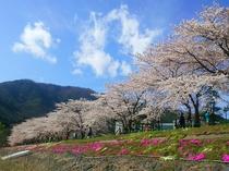 富士河口湖さくらまつり2016