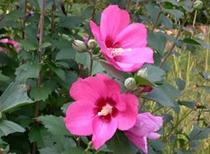 ■四季の花々 8月(葉月)芙蓉