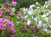 ■四季の花々 5月(皐月)さつき
