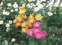 ■四季の花々 10月(神無月)菊花