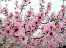 ■四季の花々 3月(弥生)桃