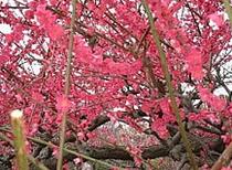 ■四季の花々 2月(如月)梅花
