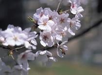 ■四季の花々 4月(卯月)桜